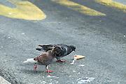 Pigeons eating discarded ice-cream cone. Dubrovnik, Croatia
