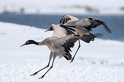 Photo taken on Feb. 26, 2016 shows black-necked cranes flying at the Dashanbao Black-neck Crane Nature Reserve in Zhaotong City, southwest China's Yunnan Province after returning farmlands to grasslands and wetlands, the Dashanbao Black-neck Crane Nature Reserve, which was built in 2003, has seen the number of black-necked cranes that winter here increase from 300 to about 1200 in 2015. EXPA Pictures © 2016, PhotoCredit: EXPA/ Photoshot/ Hu Chao<br /><br />*****ATTENTION - for AUT, SLO, CRO, SRB, BIH, MAZ only*****