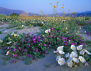 Spring bloom of dune evening primrose, Oenothera deltoides, desert sunflower, Geraea canescens, desert sand verbena, Abronia villosa and browneyed evening primrose, Camissonia claviflormis, flats adjacent to Coyote Mountain surrounded by Anza-Borrego Desert State Park, California.