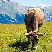 A cow grazing in the Swiss Bernese Alps near the town of Grindelwald, Switzerland.