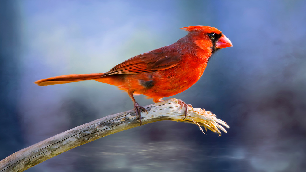 A Male Northern Cardinal On A Branch Over Blue Waters