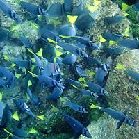 South America, Ecuador, Galapagos, Razor Surgeonfish in the waters of Gardner Bay, Espanola.