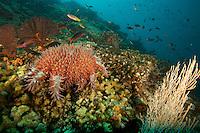 "Crown-of-thorns sea star<br /><br />Contreras Islands<br />Coiba National Park, Panama<br />Tropical Eastern Pacific Ocean<br /><br />""Prosper Rock"" dive site"