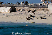 tiger shark ( Galeocerdo cuvier ) patrols beach where fledgling black-footed albatross chicks ( Phoebastria nigripes ) are preparing to take their first flight, East Island, French Frigate Shoals, Papahanaumokuakea National Monument, Northwest Hawaiian Islands ( Central Pacific Ocean )