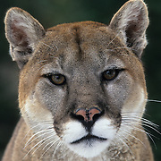Mountain Lion (Felis concolor) portrait of an adult in the Rocky Mountains of southwestern Montana. Captive Animal