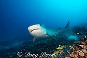 large female tiger shark, Galeocerdo cuvier, swims over coral reef populated by blueline snappers, damselfish, and hawkfish, Honokohau, Kona, Big Island, Hawaii, USA ( Central Pacific Ocean )