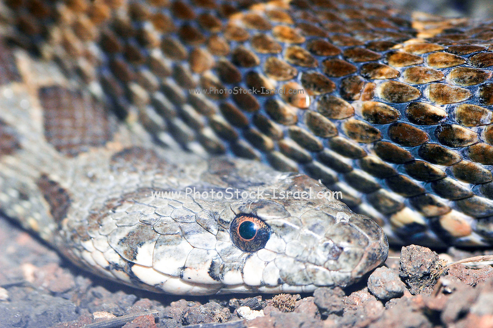 Coluber (racer) snake