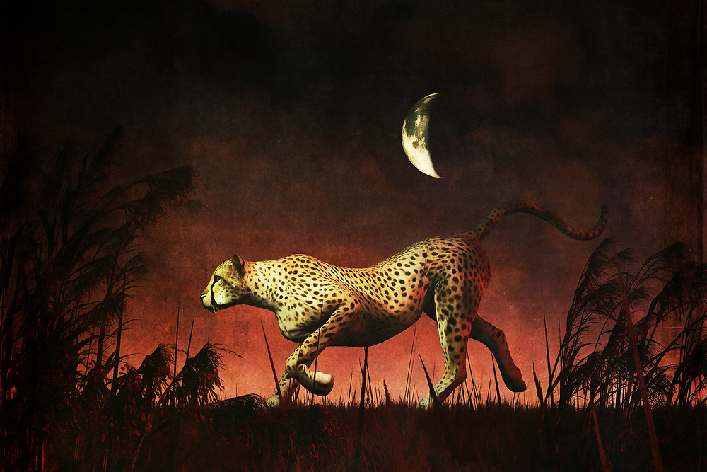 If you have never visited the continent of Africa, you can still appreciate this extraordinary image of a cheetah on the hunt. It is nighttime, wherever the cheetah might be in Africa, and it isn't difficult to imagine that it is also a very hot night. The cheetah doesn't seem to care much about the weather. It simply wants to catch its prey. It has clearly found something. It is very definitively on the move. Given what we know about cheetahs, we know this particular cheetah is almost certainly going to catch that prey soon. Available as t-shirts, wall art, or interior home décor products. .<br />