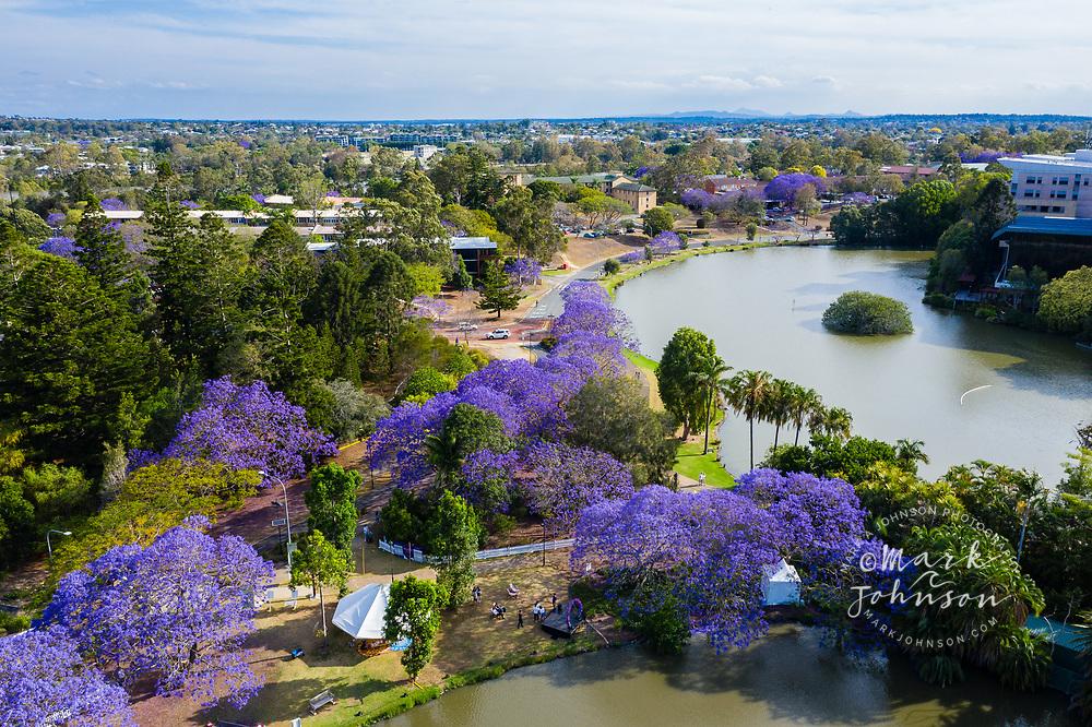 Aerial view of flowering Jacaranda trees, University of Queensland, St Lucia, Brisbane, Queensland, Australia