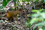 Central American Agouti (Dasyprocta punctata), Photographed in Costa Rica. in June