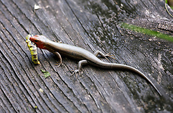 04 June 2015. Jean Lafitte National Historic Park, Louisiana.<br /> A five lined skink enjoys a large grasshopper for lunch in the swamp at the Barataria Preserve wetlands south or New Orleans.<br /> Photo©; Charlie Varley/varleypix.com