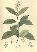Justicia guttata From Plantae Asiaticae rariores, or, Descriptions and figures of a select number of unpublished East Indian plants Volume 1 by N. Wallich. Nathaniel Wolff Wallich FRS FRSE (28 January 1786 – 28 April 1854) was a surgeon and botanist of Danish origin who worked in India, initially in the Danish settlement near Calcutta and later for the Danish East India Company and the British East India Company. He was involved in the early development of the Calcutta Botanical Garden, describing many new plant species and developing a large herbarium collection which was distributed to collections in Europe. Several of the plants that he collected were named after him. Published in London in 1830