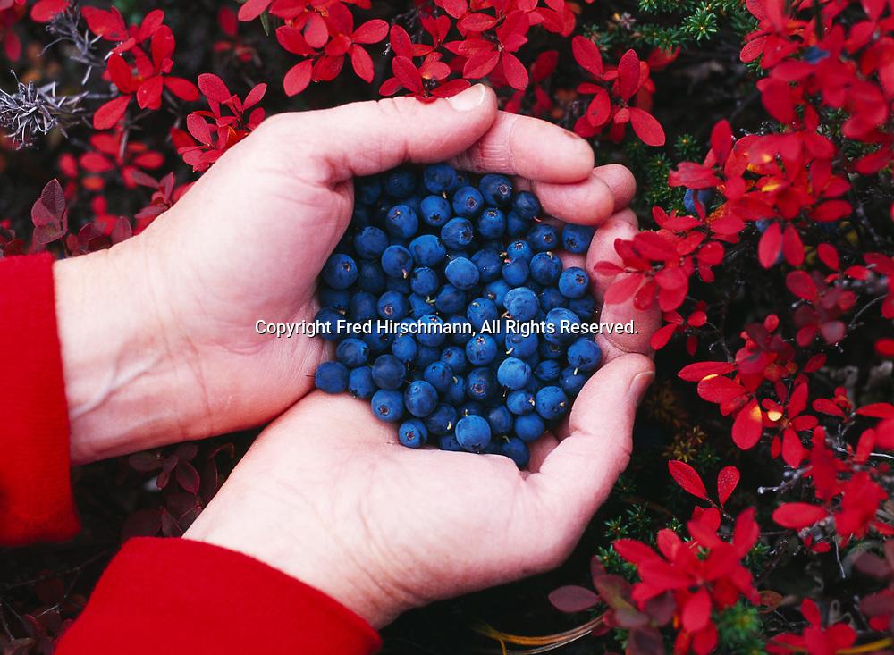 Handful of freshly picked blueberries, Vacciniium uliginosum, autumn tundra along shore of Upper Twin Lake, Lake Clark National Park, Alaska.