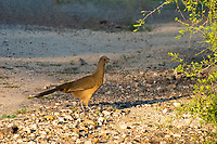 """This fascinating plain chachalaca was found and photographed in the Rio Grande Valley in Hidalgo County with a number of others of its kind one the ground and in the mesquite trees. At the northern tip of its range, this large upland game bird can be found from the southern tip of Texas, throughout Mexico and south to Central America. Noisy as other members of the galliform family (turkeys, chickens, pheasants, grouse, etc.), the name chachalaca means """"chatterbox"""" - a fitting name!"""