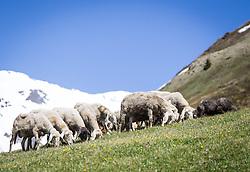 THEMENBILD - die Grossglockner Hochalpenstrasse. Die hochalpine Gebirgsstrasse verbindet die beiden oesterreichischen Bundeslaender Salzburg und Kaernten mit einer Laenge von 48 Kilometer. Sie ist als Erlebnisstrasse vorrangig von touristischer Bedeutung und das Befahren ist fuer Kraftfahrzeuge mautpflichtig, im Bild eine weidende Schafherde im Hochgebirge, aufgenommen am 24.05.2014 // ILLUSTRATION - the Grossglockner High Alpine Road. The high alpine mountain road connects the two Austrian federal states of Salzburg and Carinthia with a length of 48 kilometers. It is as a matter of priority road experience of tourist importance and for driving motor vehicles is a toll road. Picture taken on 2014/05/24. EXPA Pictures © 2014, PhotoCredit: EXPA/ JFK