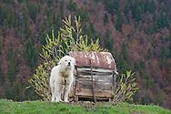 Mioritic shepherd dog in a village near Zarnesti, Transylvania, Romania