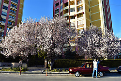 March 26, 2019 - Ankara, Turkey: A man takes pictures of flowering trees during a sunny day. Photo: Altan Gocher