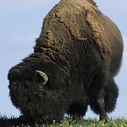 Bison (Bison bison) male grazing in Hayden Valley in Yellowstone National Park, Wyoming.