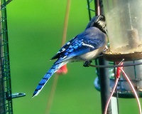 Blue Jay. Image taken with a Fuji X-T3 camera and 200 mm f/2 lens + 1.4x teleconverter.