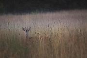 Roe deer (Capreolus capreolus) buck in foggy meadow