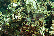 Island Goatfish, Parupeneus insularis, Randall & Myers, 2002, Molokai Hawaii
