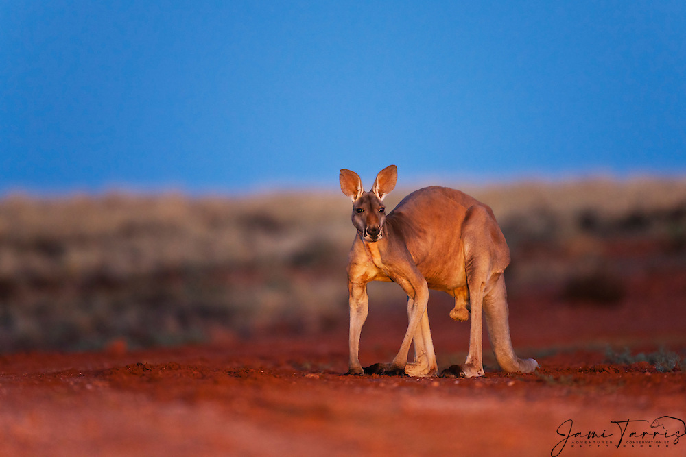 A male red kangaroo  (Macropus rufus) sits against an intense blue sky at twilight,  Sturt Stony Desert,  Australia