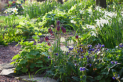 Fritillaria meleagris, Pulmonaria 'Blue Ensign' and Narcissus 'Thalia' in the woodland garden at Glebe Cottage