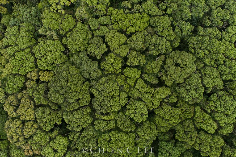 Dipterocarp trees (Shorea gardneri and S. trapezifolia) exhibiting crown shyness. Sinharaja National Park, Sri Lanka.