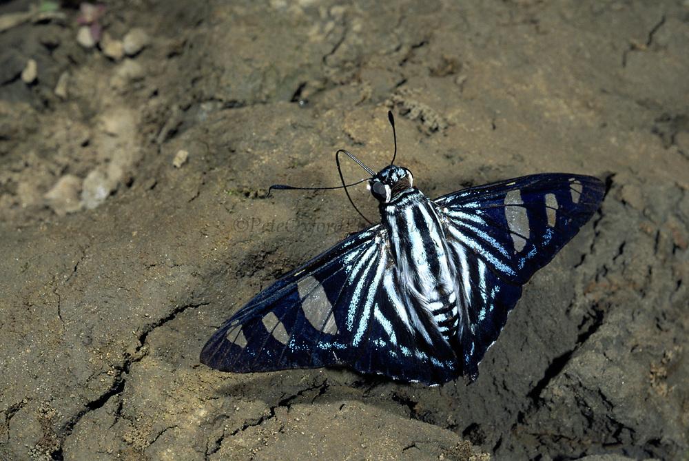 Blue Banded Skipper<br />Elbella ployzona<br />Heath River.   BORDER PERU & BOLIVIA.  South America<br />Feeding on bird dropping