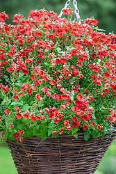 Diascia barberae 'Balromed' syn. Romeo Red - Romeo Group in a hanging basket