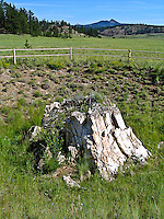 Petrified Sequoia stump, Sequoia affins, Florissant Fossil Beds National Monument, Colorado.