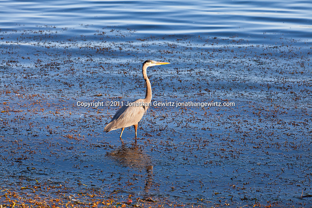 A Great Blue Heron (Ardea herodias) wading in the shallows of Biscayne Bay, Florida. WATERMARKS WILL NOT APPEAR ON PRINTS OR LICENSED IMAGES.