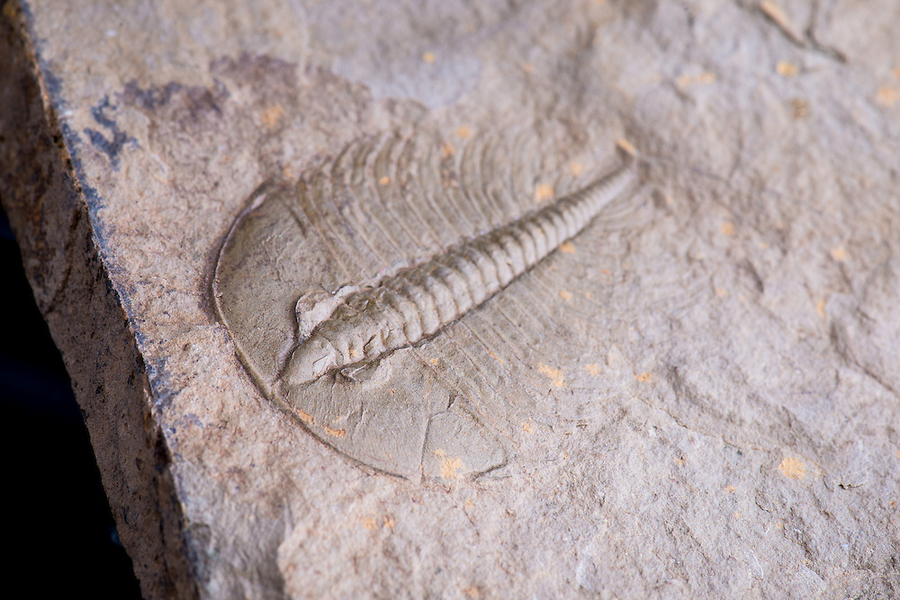 This Nevadia weeksi split pair (sagittal length: 61mm) comes from the Lower Cambrian Campito Formation (Montenegro Member) of Nevada. It is one of the oldest trilobites in existence.
