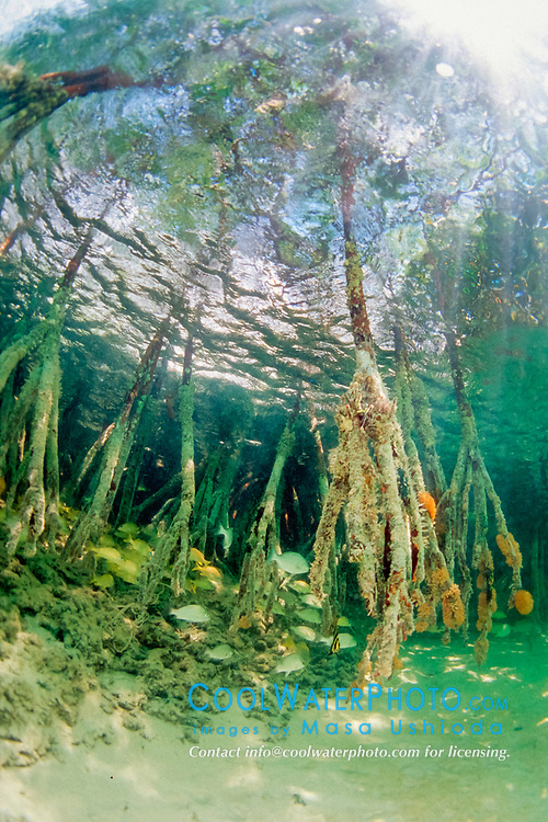 Red mangrove roots, Rhizophora mangle, with a variety of juvenile reef fish, Sands Cut, Biscayne National Park, Florida, USA, Atlantic Ocean