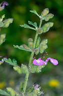 CUT-LEAVED GERMANDER Teucriuim botrys (Lamiaceae) Height to 25cm. Upright and branched, downy annual or biennial. Grows on bare ground, in short grassland often on previously disturbed soil, and in arable fields, on chalk and limestone soils. FLOWERS are 7-9mm long with no upper lip but a lower lip that is deep, pink; borne in small clusters up leafy stems (Jul-Sep). FRUITS are nutlets. LEAVES are almost triangular but deeply cut, the lower ones almost pinnately so. STATUS-Rare and restricted to a few locations in S England, from Cotswolds to Kent.