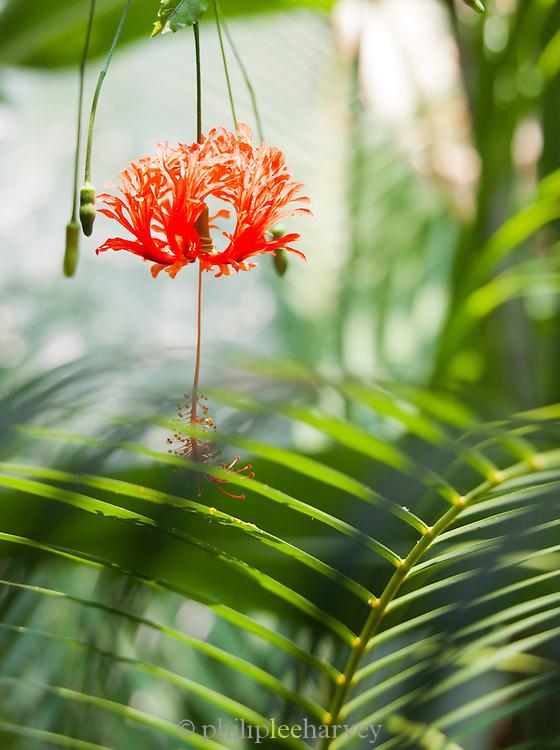 Flowers in a hotel garden near Trivandrum (Thiruvananthapuram), Kerala, India
