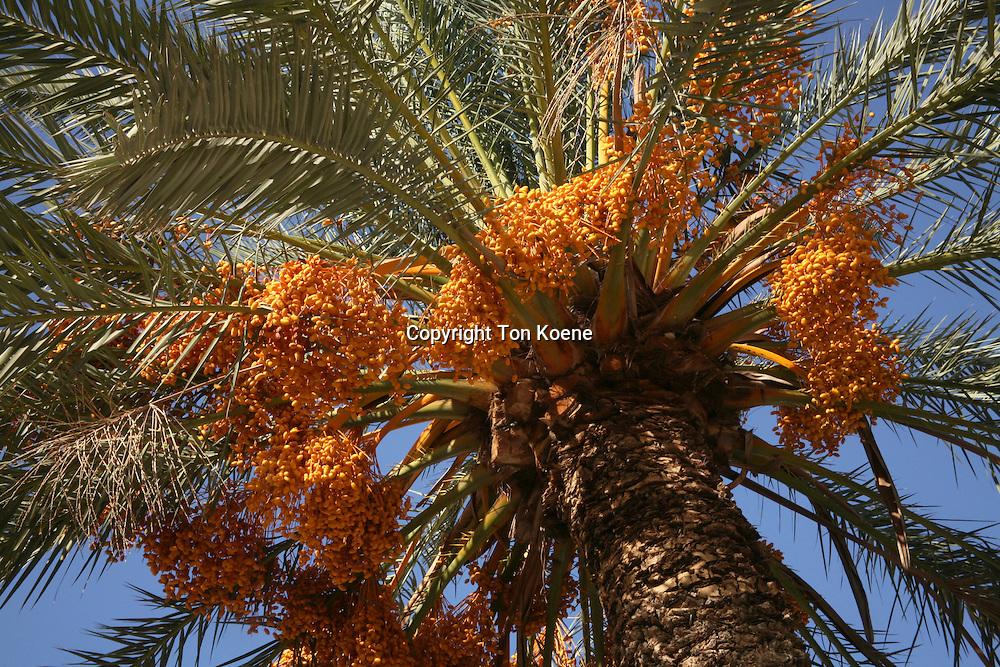 Palm tree in Jerusalem.