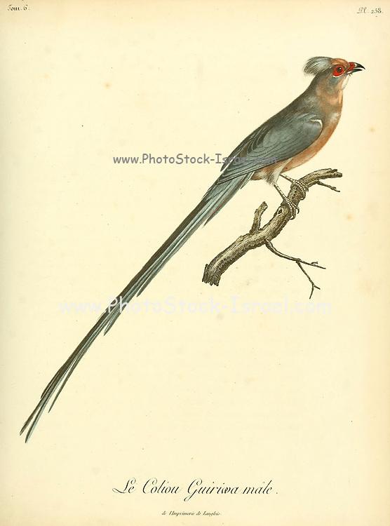Male Coliou quiriwa from the Book Histoire naturelle des oiseaux d'Afrique [Natural History of birds of Africa] Volume 6, by Le Vaillant, Francois, 1753-1824; Publish in Paris by Chez J.J. Fuchs, libraire 1808