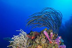 Porous Sea Rods, Pseudoplexaura sp., Knobby Sea Rods, Eunicea sp., Stove-pipe Sponge, Aplysina archeri, many kinds of sponge species and stony corals, thriving, West End, Grand Bahama, Bahamas, Caribbean, Atlantic Ocean