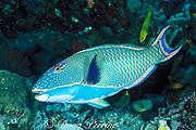 bicolor parrotfish, Cetoscarus bicolor, <br /> terminal phase or supermale, Pixie Pinnacle, <br /> Ribbon Reefs, Great Barrier Reef, <br /> Australia ( Western Pacific Ocean )