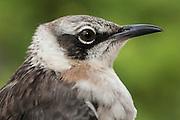 Galapagos Mockingbird (Nesomimusparvulus) CAPTIVE. Being handled for research purposes<br /> Santiago Island, GALAPAGOS ISLANDS<br /> ECUADOR.  South America<br /> ENDEMIC TO GALAPAGOS<br /> There are 4 species of Mockingbirds in the islands. <br /> Also found on Santa Cruz, Santa Fe, Isabela, Fernandina, Pinta, Marchena, Genovesa, Darwin and Wolf Islands.