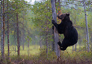 Brow bear (Ursus arctos) climbing a tree at a lake in eastern Finland.