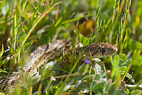 Pacific gopher snake, Pituophis catenifer catenifer, Mount Diablo State Park, California
