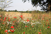 Wildflowers including red poppies and ox-eye daisies in blossom in verge of summer field, Suffolk, England, UK