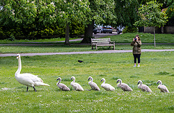 Licensed to London News Pictures. 27/05/2021. London, UK. A family of swans with 7 goslings go on a sunny spring walk on Barnes Common, southwest London as the Met Office forecast sunshine and warm weather for London and the South East for the Bank Holiday weekend with temperatures predicted to hit over 22c. Photo credit: Alex Lentati/LNP