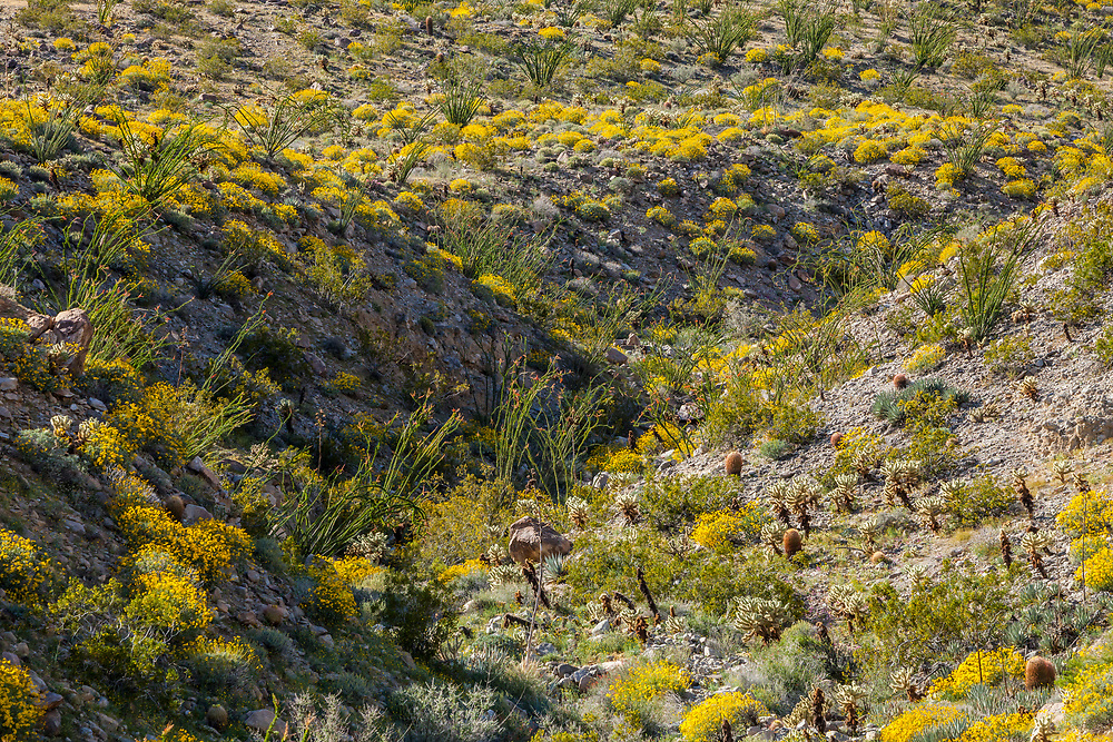 The desert bloom 2017 in Anza Borrego Desert State Park, California, USA. Near Tamarisk Grove Campground on Yaqui Pass Road and state route 78.