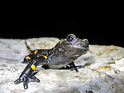 Fire Salamander (Salamandra salamandra) Close-up. Photographed in Israel in December