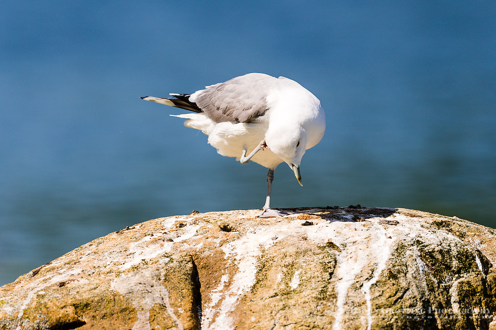 Norway, Stavanger. Common Gull cleaning feathers.