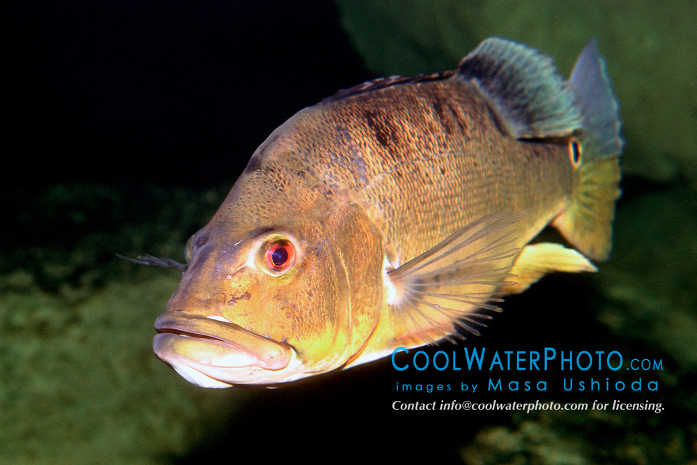 peacock bass (c), Cichla ocellaris, introduced from S. America, South Florida (Freshwater)