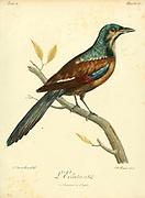 L'ECLATANT unidentified bird from the Book Histoire naturelle des oiseaux d'Afrique [Natural History of birds of Africa] Volume 2, by Le Vaillant, François, 1753-1824; Publish in Paris by Chez J.J. Fuchs, libraire 1799